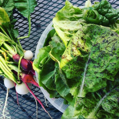 Lettuce and Radishes