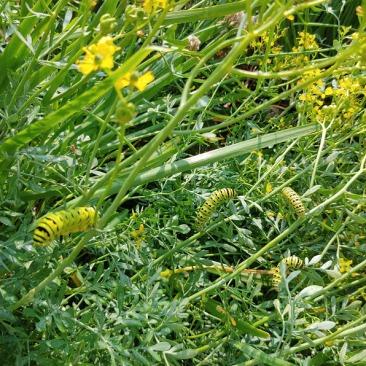Swallowtail Caterpillars on Wild Senna